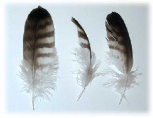ChickenFeathers